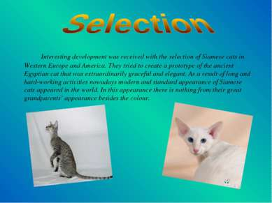 Interesting development was received with the selection of Siamese cats in We...