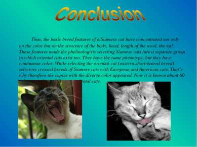 Thus, the basic breed features of a Siamese cat have concentrated not only on...