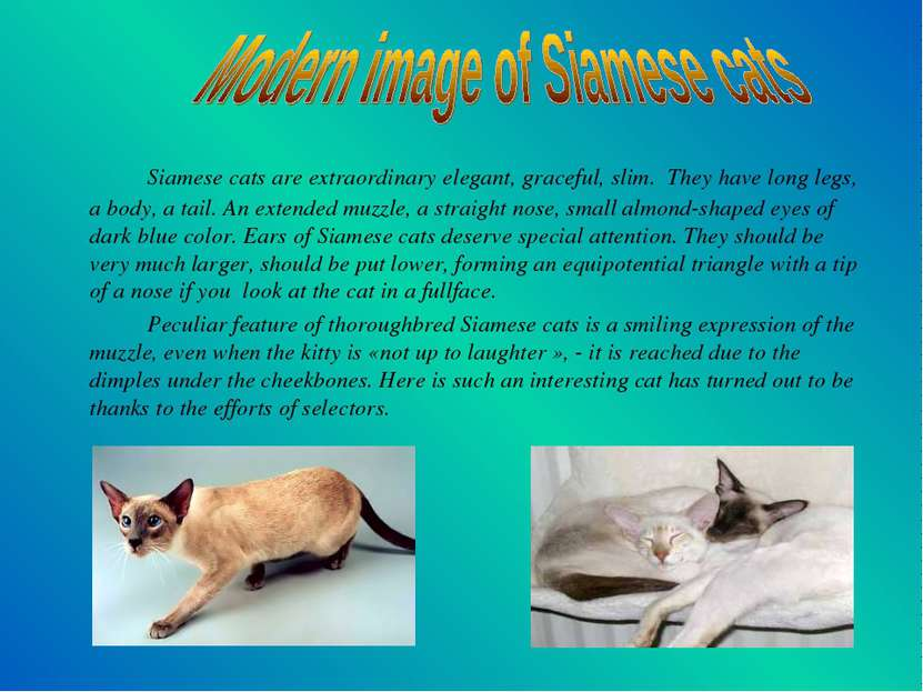 Siamese cats are extraordinary elegant, graceful, slim. They have long legs, ...