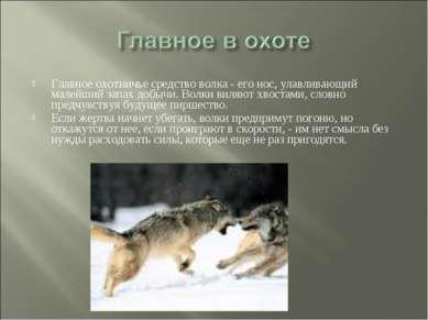 Главное охотничье средство волка - его нос, улавливающий малейший запах добыч...