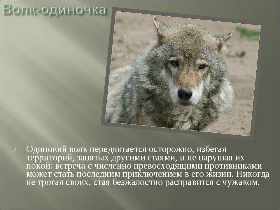 Одинокий волк передвигается осторожно, избегая территорий, занятых другими ст...