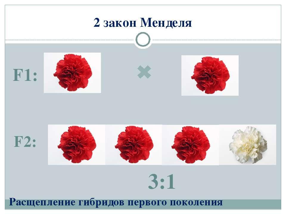 2 закон Менделя F1: F2: Расщепление гибридов первого поколения 3:1