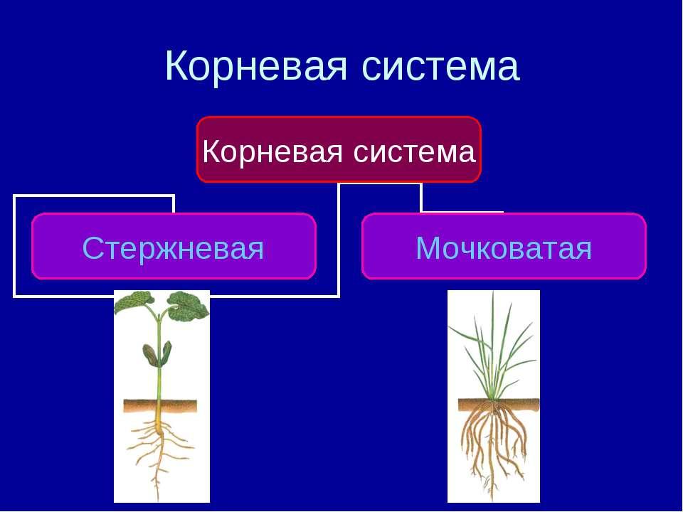 корень одуванчика и крапива для похудения