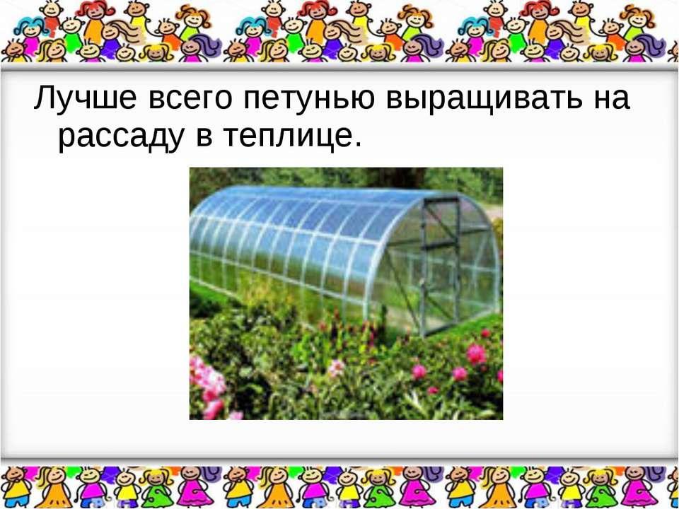Лучше всего петунью выращивать на рассаду в теплице.