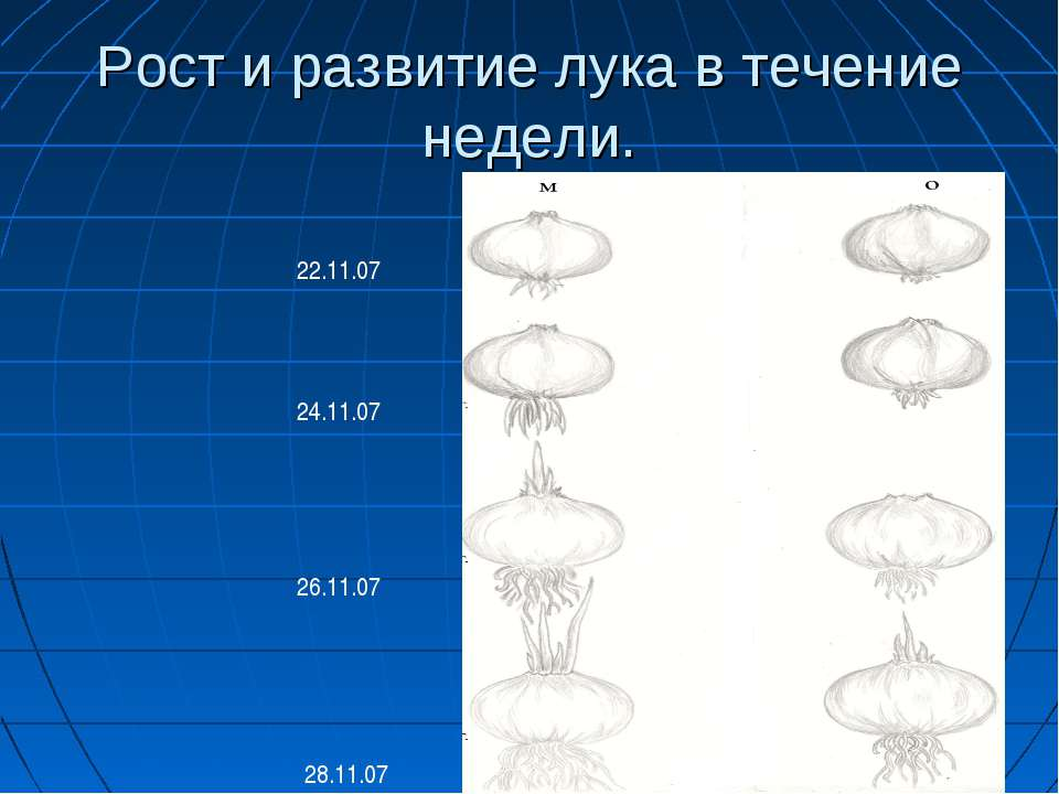 Рост и развитие лука в течение недели. 22.11.07 24.11.07 26.11.07 28.11.07