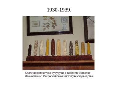 1930-1939. Коллекция початков кукурузы в кабинете Николая Ивановича во Всерос...