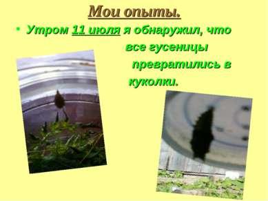 Мои опыты. Утром 11 июля я обнаружил, что все гусеницы превратились в куколки.