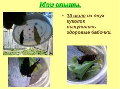 Мои опыты. 19 июля из двух куколок вылупились здоровые бабочки.