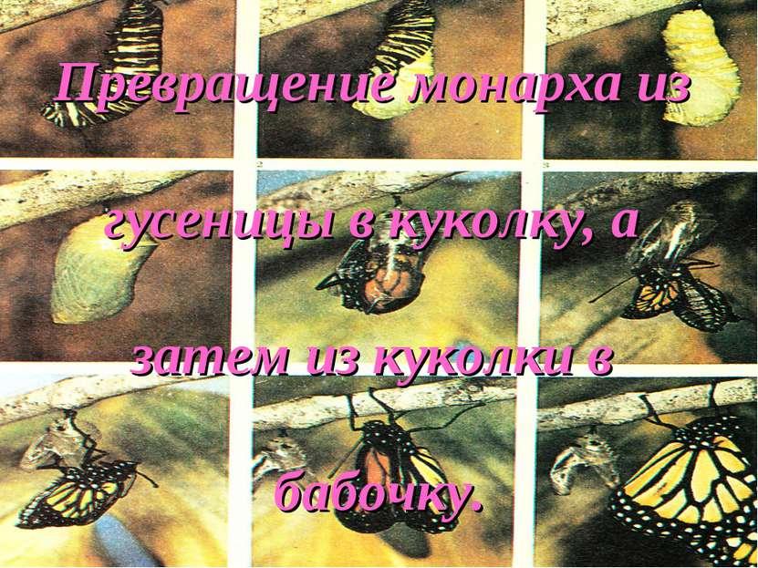 Превращение монарха из гусеницы в куколку, а затем из куколки в бабочку.
