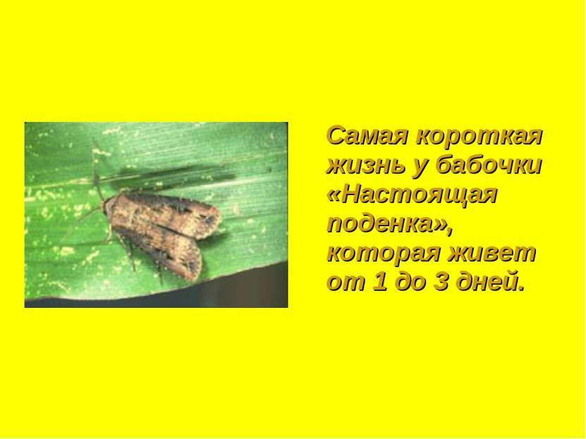 Самая короткая жизнь у бабочки «Настоящая поденка», которая живет от 1 до 3 д...