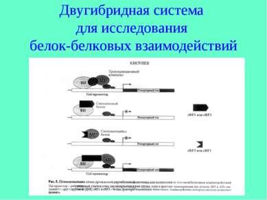 Двугибридная система для исследования белок-белковых взаимодействий
