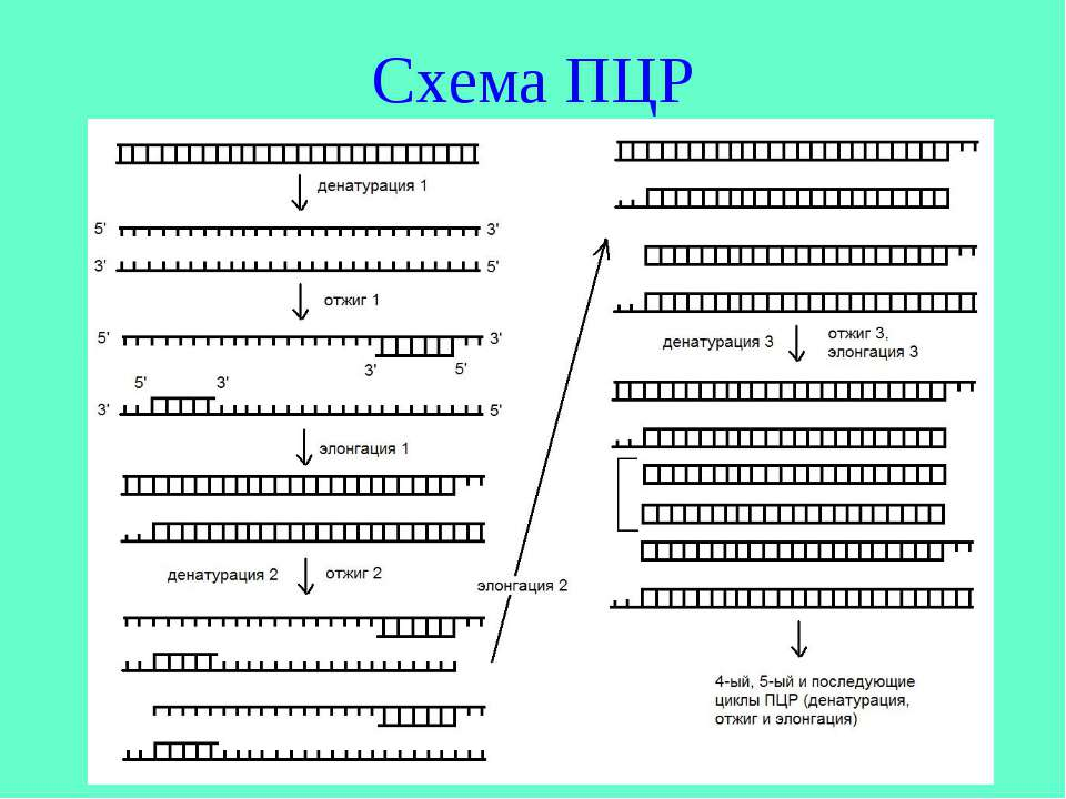 Схема ПЦР