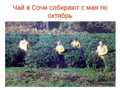 Чай в Сочи собирают с мая по октябрь