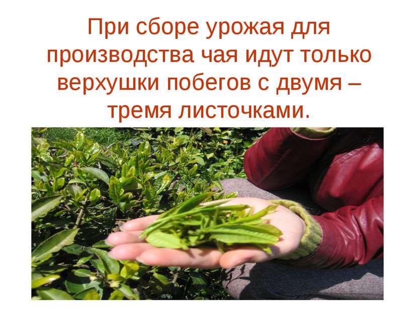 При сборе урожая для производства чая идут только верхушки побегов с двумя – ...