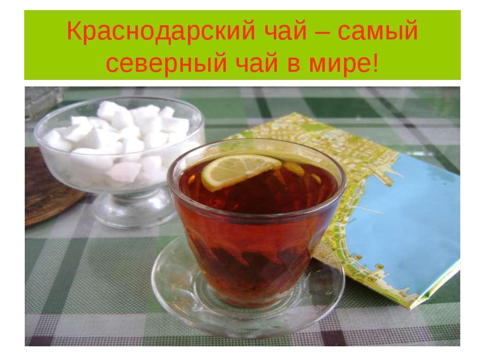 Краснодарский чай – самый северный чай в мире!