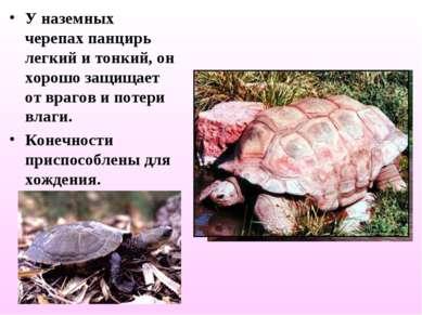 У наземных черепах панцирь легкий и тонкий, он хорошо защищает от врагов и по...