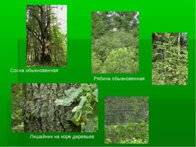 Сосна обыкновенная Рябина обыкновенная Лишайник на коре деревьев