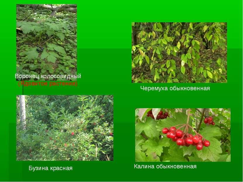 Воронец колосовидный (Ядовитое растение) Черемуха обыкновенная Бузина красная...