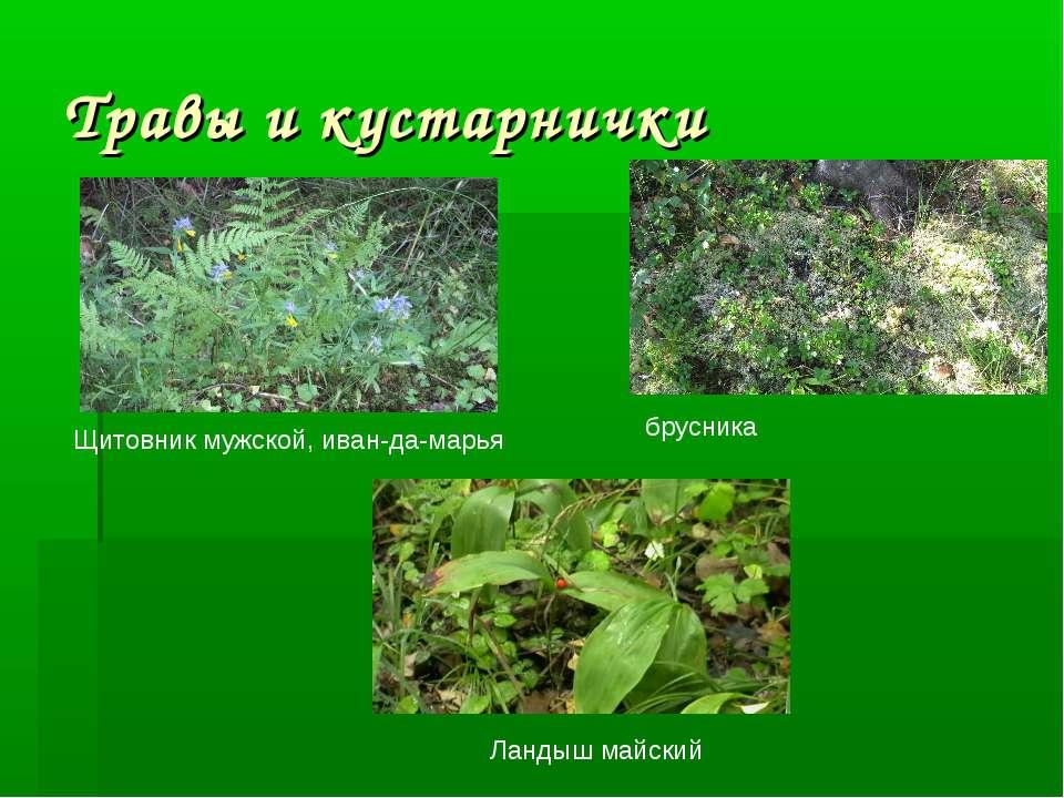 Травы и кустарнички Щитовник мужской, иван-да-марья брусника Ландыш майский