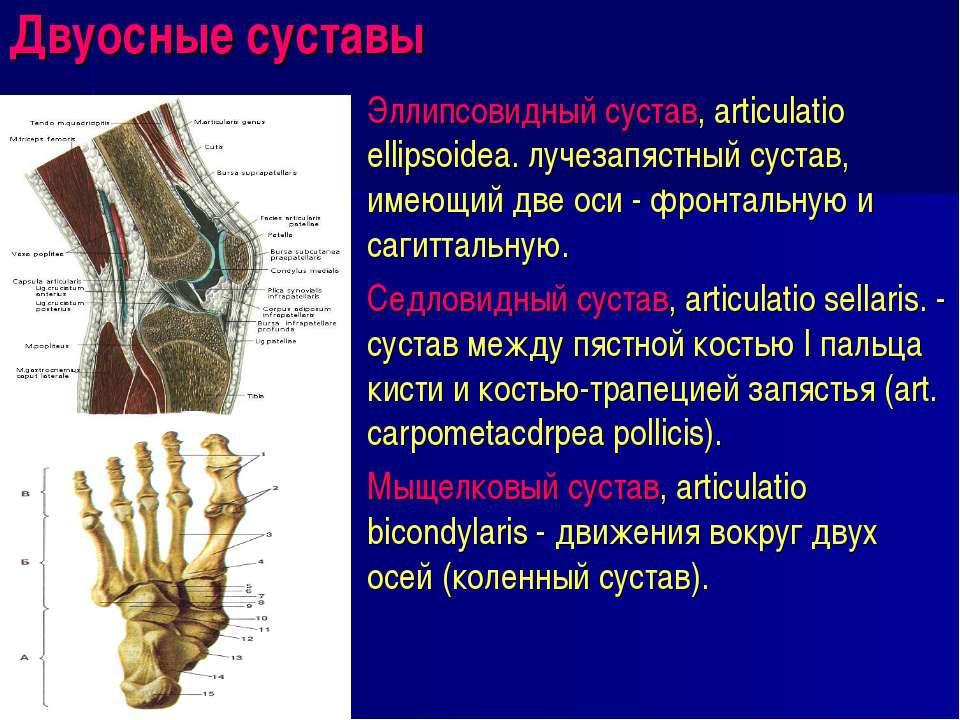 Двуосные суставы Эллипсовидный сустав, articulatio ellipsoidea. лучезапястный...
