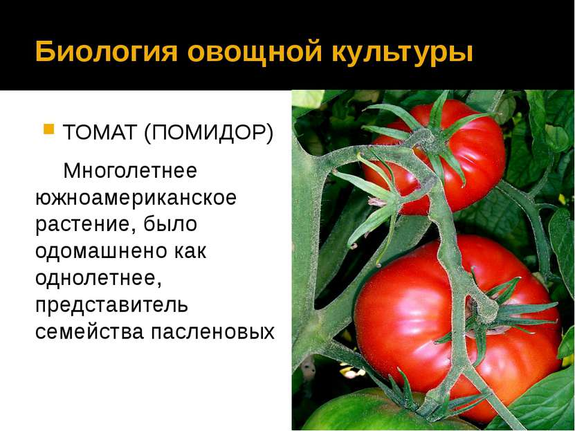 Биология овощной культуры ТОМАТ (ПОМИДОР) Многолетнее южноамериканское растен...