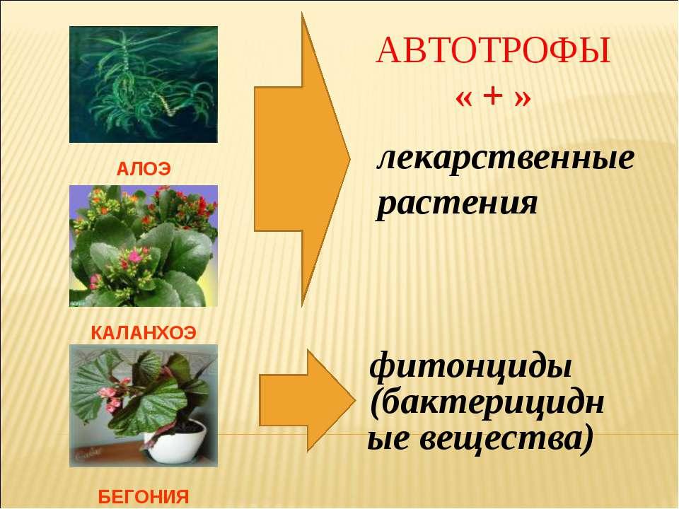 АЛОЭ КАЛАНХОЭ БЕГОНИЯ лекарственные растения фитонциды (бактерицидные веществ...