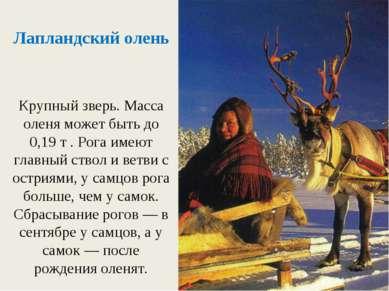 Крупный зверь. Масса оленя может быть до 0,19 т . Рога имеют главный ствол и ...