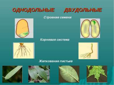 ОДНОДОЛЬНЫЕ ДВУДОЛЬНЫЕ Жилкование листьев Корневая система Строение семени