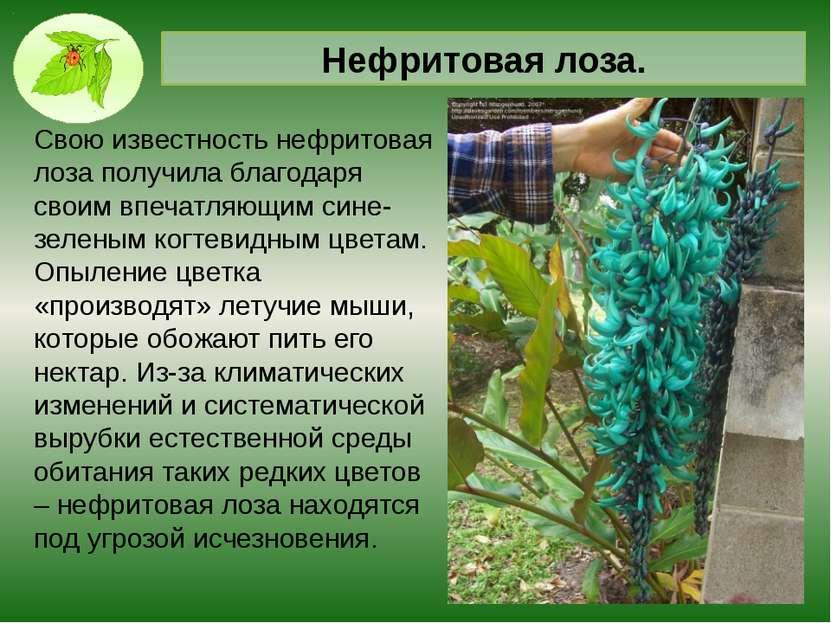 """Самые дорогой цветок планеты. Орхидея """"Золото Кинабалу"""" Найти ее можно только..."""