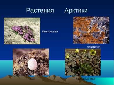 Растения Арктики полярный мак лишайник мох камнеломка