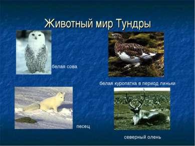 Животный мир Тундры белая сова северный олень песец белая куропатка в период ...