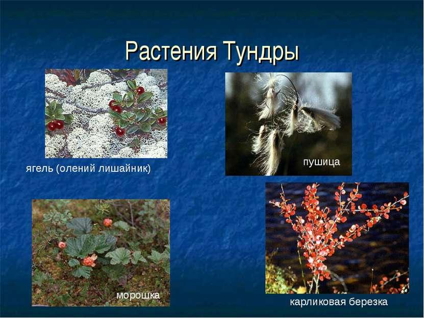 Растения Тундры ягель (олений лишайник) карликовая березка пушица морошка