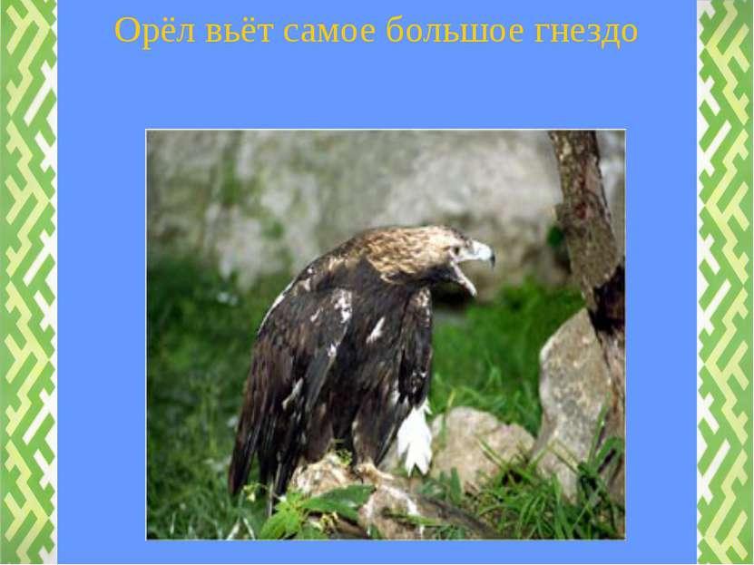 Орёл вьёт самое большое гнездо