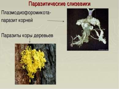 Паразитические слизевики Плазмодиофоромикота- паразит корней Паразиты коры де...