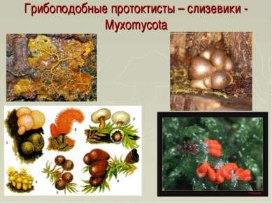 Грибоподобные протоктисты – слизевики - Myxomycota