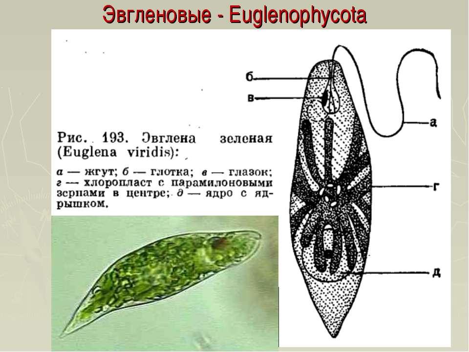 Эвгленовые - Euglenophycota