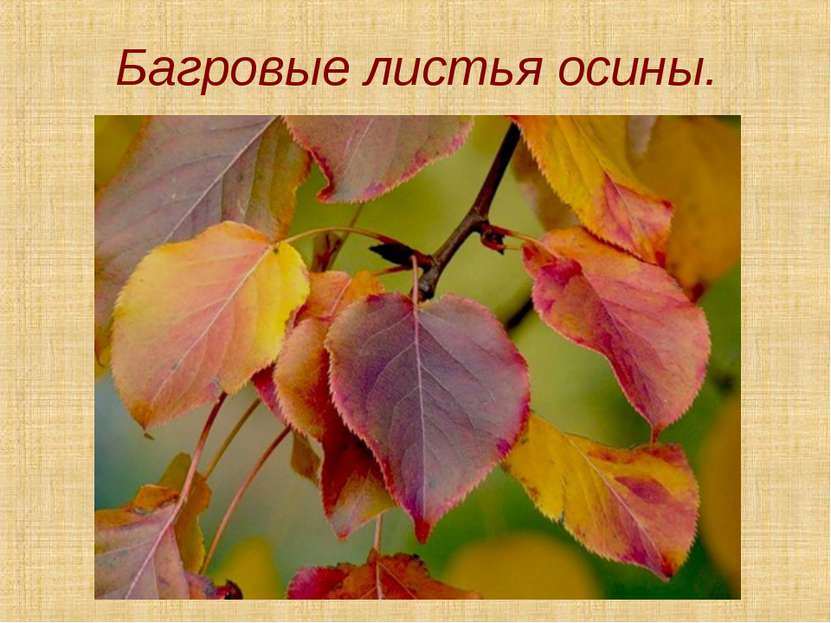Багровые листья осины.