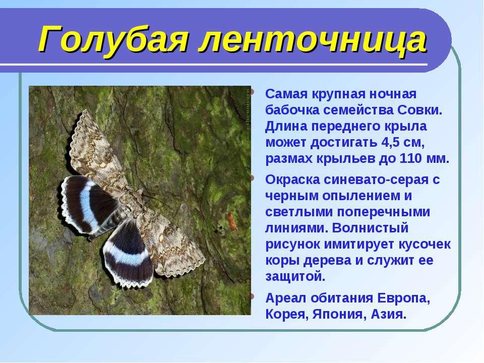 Голубая ленточница Самая крупная ночная бабочка семейства Совки. Длина передн...