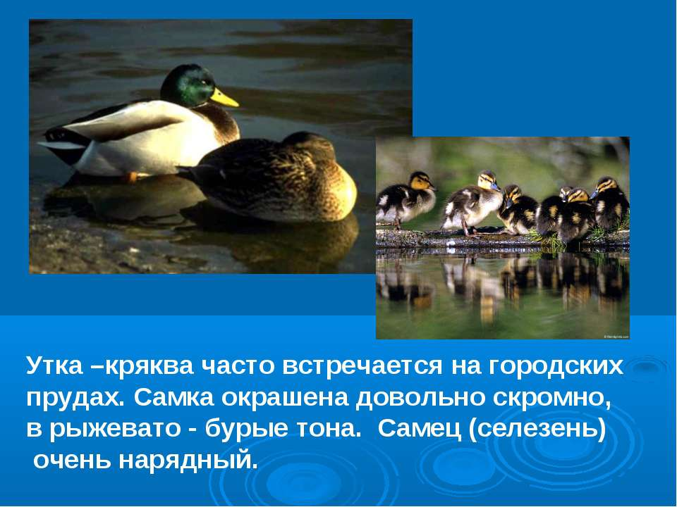 Утка –кряква часто встречается на городских прудах. Самка окрашена довольно с...