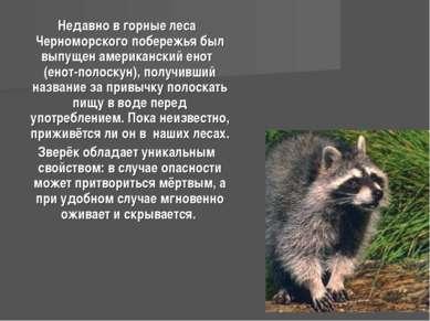 Недавно в горные леса Черноморского побережья был выпущен американский енот (...
