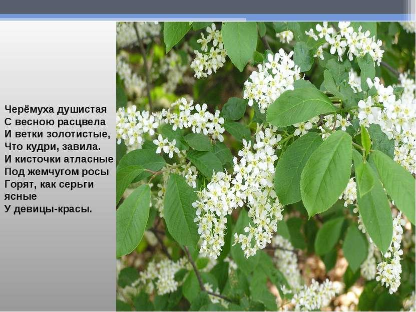 Черёмуха душистая С весною расцвела И ветки золотистые, Что кудри, завила. И ...