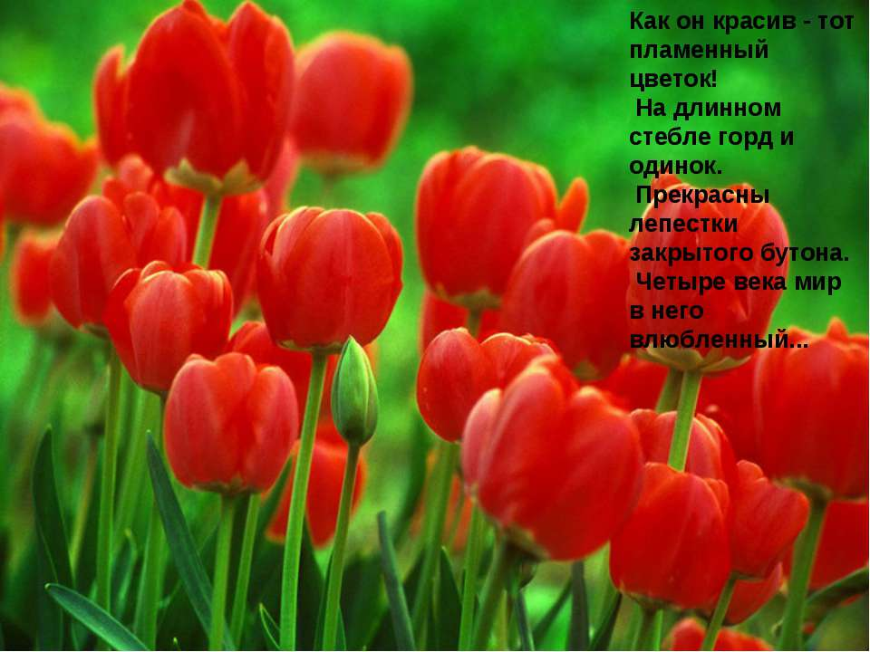 Как он красив - тот пламенный цветок! На длинном стебле горд и одинок. Прекра...