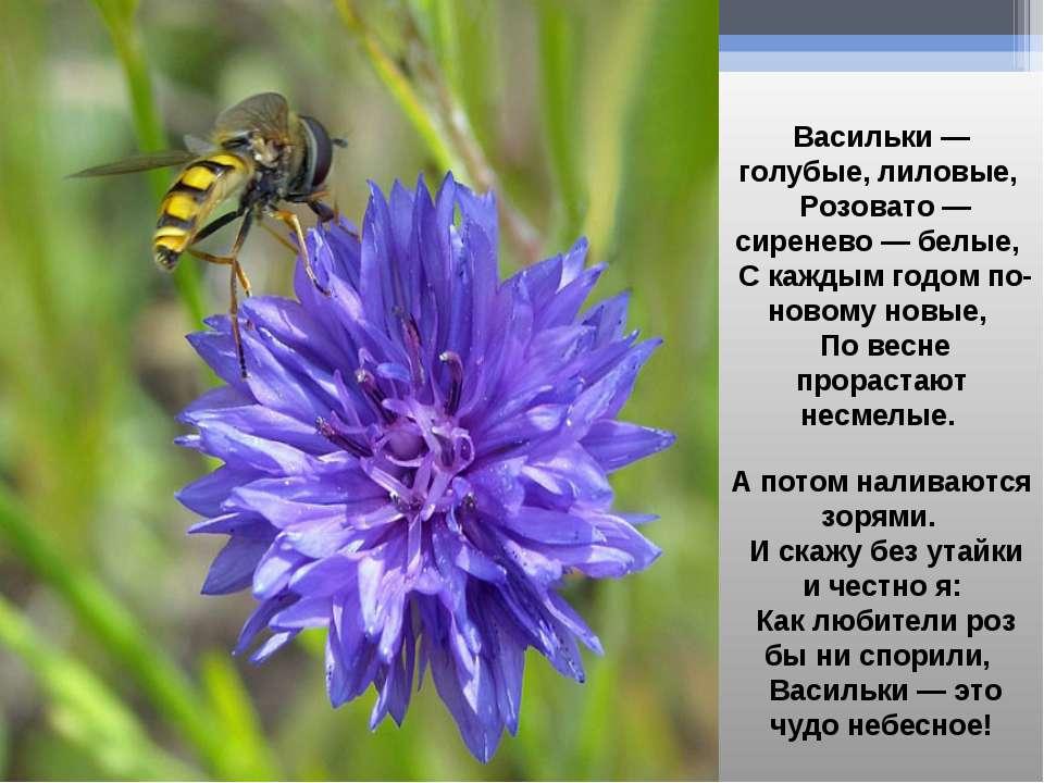 Васильки — голубые, лиловые, Розовато — сиренево — белые, С каждым годом по-н...