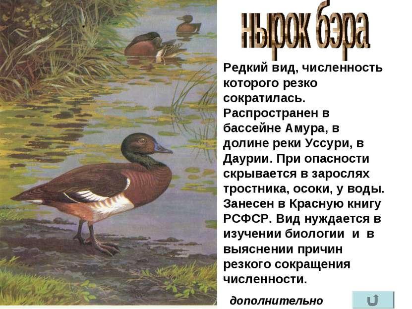 Редкий вид, численность которого резко сократилась. Распространен в бассейне ...
