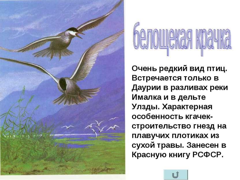 Очень редкий вид птиц. Встречается только в Даурии в разливах реки Ималка и в...