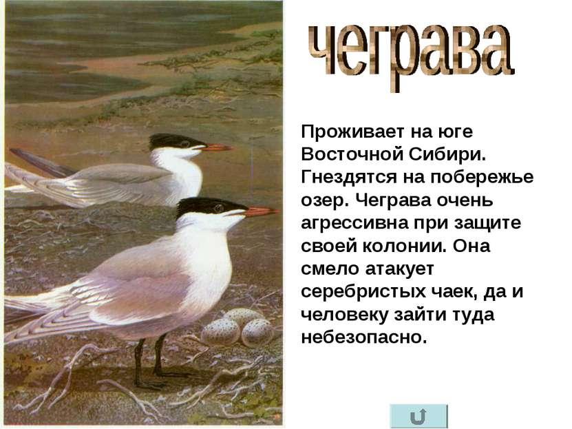 Проживает на юге Восточной Сибири. Гнездятся на побережье озер. Чеграва очень...