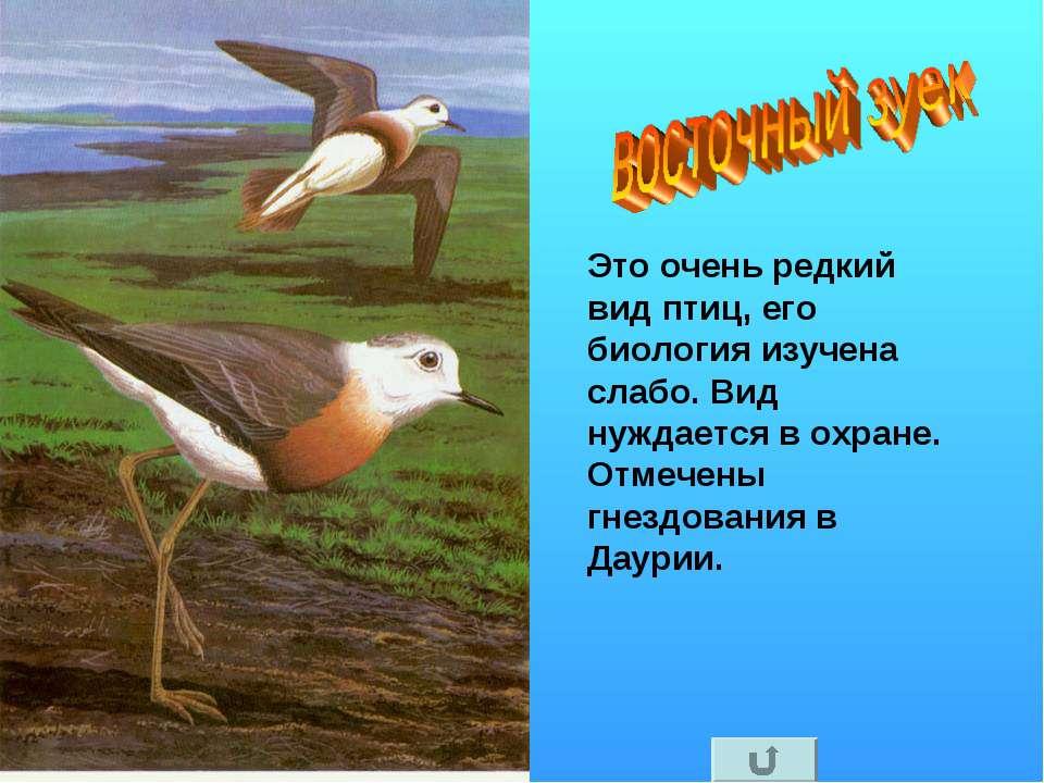 Это очень редкий вид птиц, его биология изучена слабо. Вид нуждается в охране...