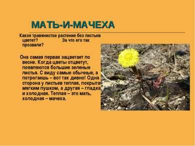 МАТЬ-И-МАЧЕХА Какое травянистое растение без листьев цветет? За что его так п...