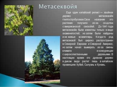 Еще один китайский реликт— хвойное дерево метасеквойя глиптостробусовая.Свое...