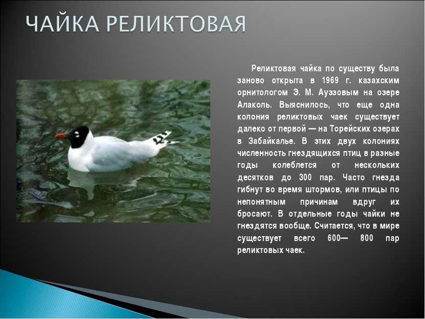 Реликтовая чайка по существу была заново открыта в 1969 г. казахским орнитоло...